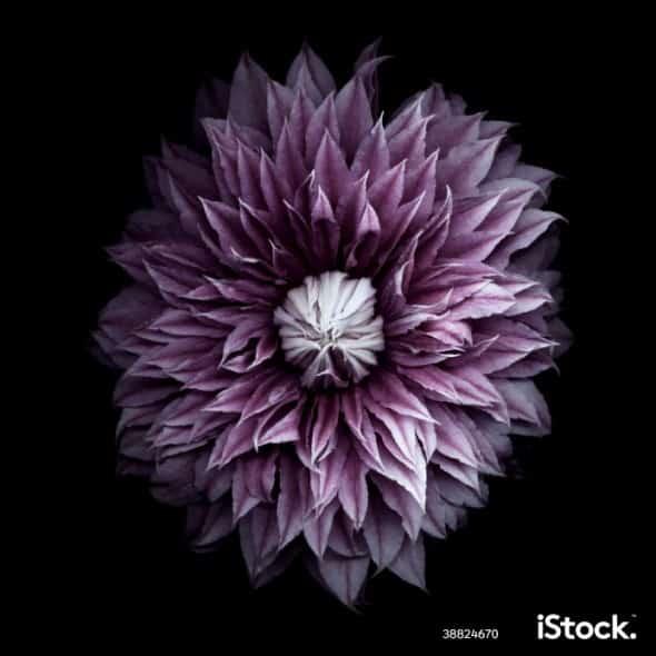 Purple clematis blossom