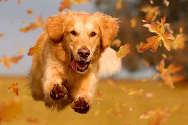 Dreamstime Most Downloaded Golden Retriever Dog Jumping Autumn Leaves