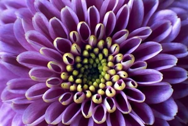 Closeup Purple Chrysanthemum